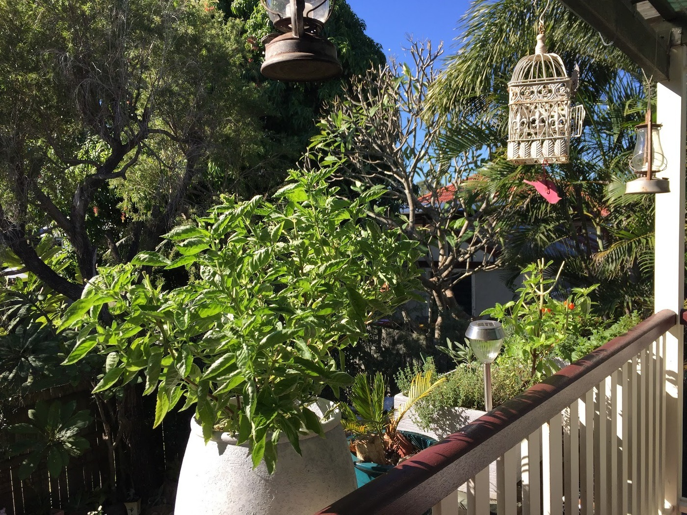 Basil in Large Pot on Verandah