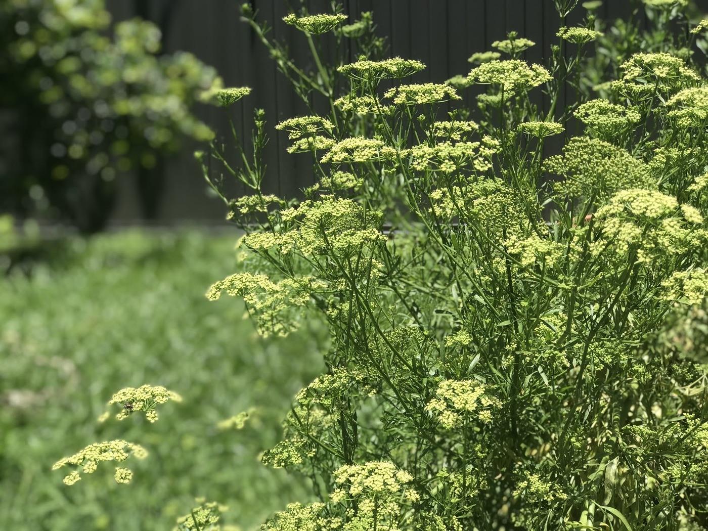 Coriander flowering