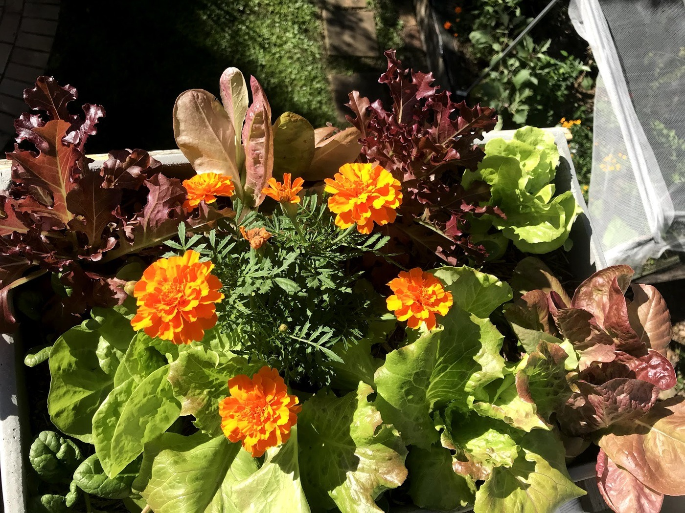 Marigolds in Lettuce
