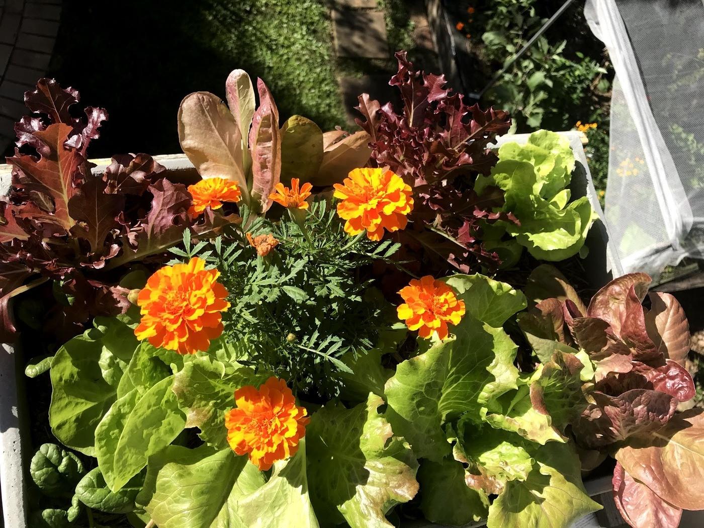 Marigolds in Lettuce