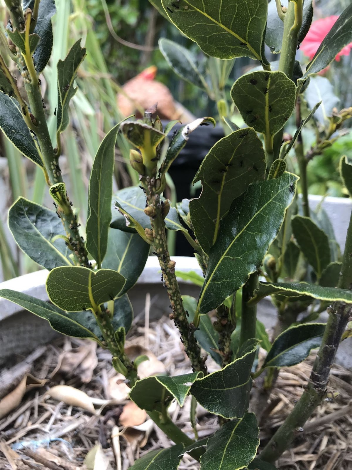 Dwarf bay tree with ants and aphids