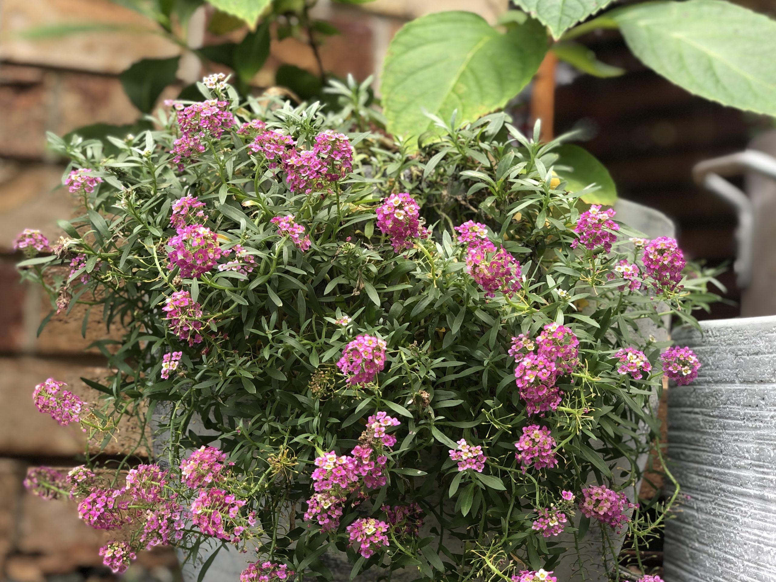 hydrangea and dwarf flowers